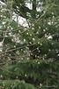 Magnolia buds, Back Forty, against deodar background