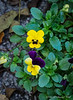 Pansies to be planted