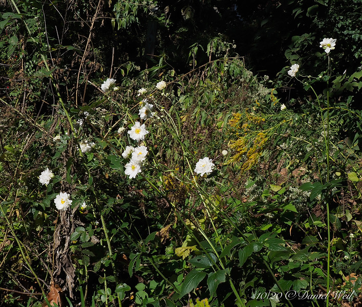 'Whirlwind' Japanese anemone among the weeds, S of library\