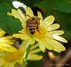 Honeybee on mum.  Note the orange of the pollen pellets on its legs.