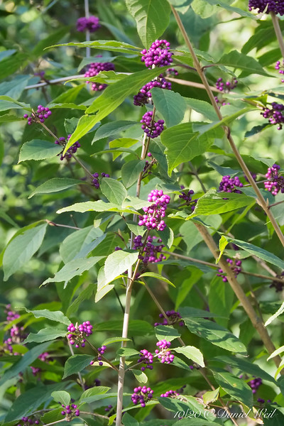 Beautyberry in front of Dan's studio.  This was the first full year after taking out the Leylands that had shaded it.  Now it's going berserk.