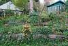 Hesperides terraces, weedy but flowering
