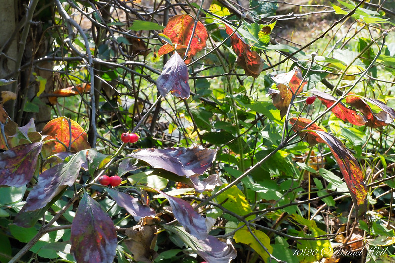 """Dogwood ex FONA sale.  All the virtues.  Good autumn color, bright red berries, the """"onion domes"""" of next year's flower buds.  Sometimes makes Chinese-lanterns (like Cornus fl. ssp. urbiniana, that always does it.)."""