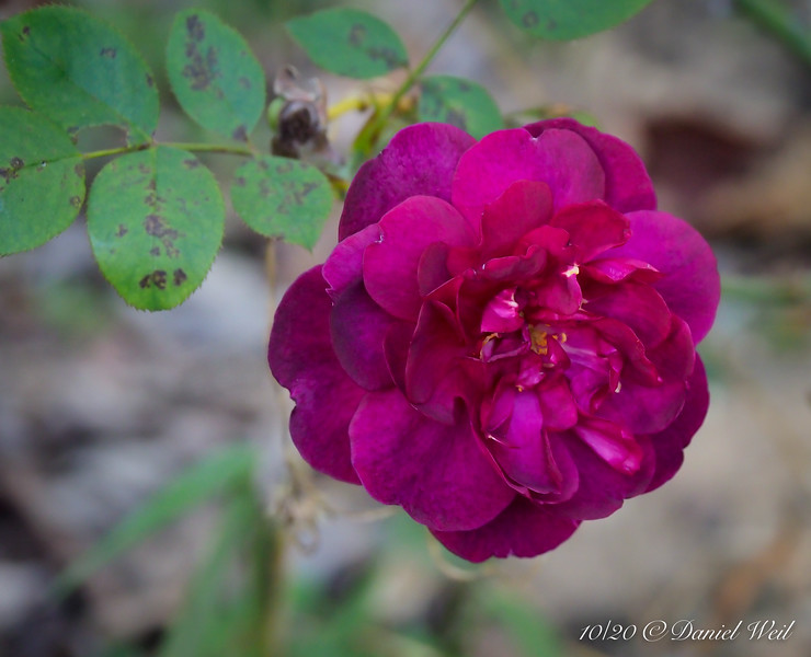 Darcey Bussell rose, highway bed