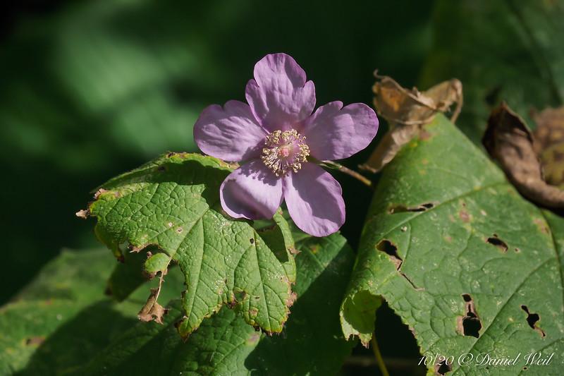 Last gasp of Rubus odoratus, the Flowering Raspberry, by driveway.
