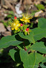 Hypericum, highway bed