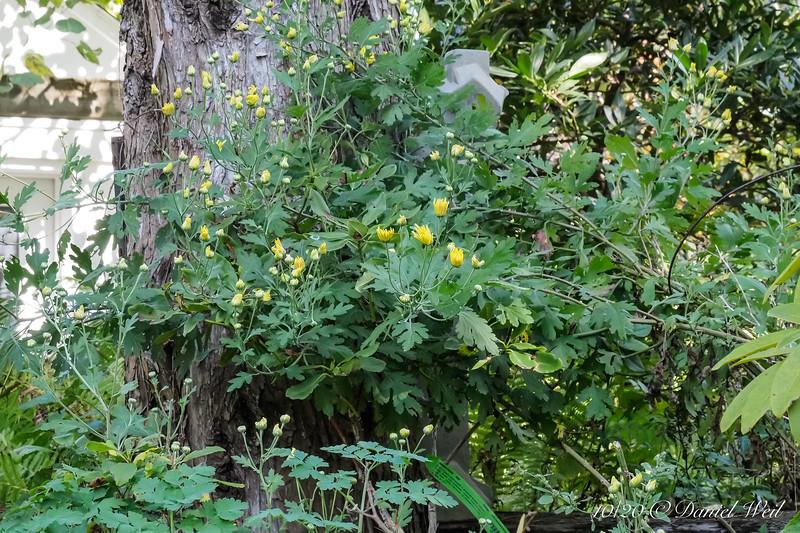 Yellow mum, prob. 'Gethsemene Moonlight', Hesperides terrace.