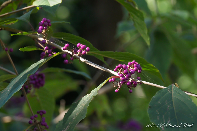 Beautyberry.  Dan did not photoshop this, the color changes w/ the light.