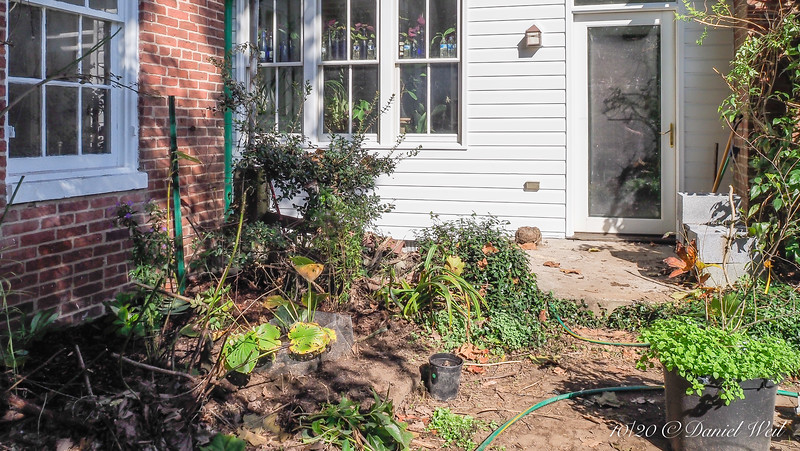 New planting in recently cleared area (for painters); two Hosta plantaginea, two different blue asters, two kinds of large Polygonatum, snowdrops in front of cage.  Soil enriched with two full wheelbarrows of horse...apples.