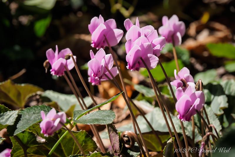 Cyclamen hederifolium between highway lane and shade room.