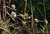 Apple blossoms, either Winesap or York, probably