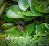 Same Frog #1