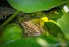 Same Frog #3