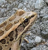 Close up of pickerel frog.    We are becoming Ecologically Diverse.
