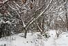 Towards the end of the snow- Prunus mume, Vitex agnus-castis, Harry Lauder, N of guest room