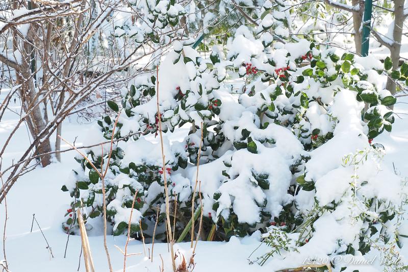 Holly under snow, by S pond