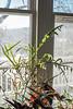 Ribbon grass and begonia, living room