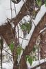 Prunus mume, climbing rose