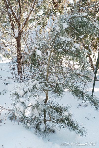 Little Bungei pine after snow/ice somewhat removed...