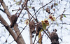 Chimonanthus praecox, S of chicken house, flowers & seed pods
