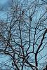 Deep frozen locust tree....