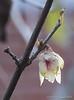 Chimonanthus praecox, S of chicken house