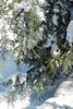 The Carolina juniper, bowed but unbloody....