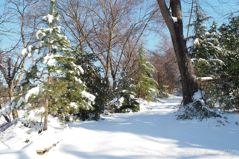 Back alley.   Evergreens are slowly filling in, pines, deodars, hollies.