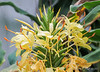 Hedychium, planted in ground in g'house