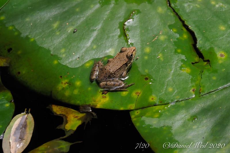 Tiny frog, big lily pad.  South pond.