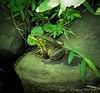 Big frog, south pond