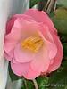 Camellia by Dan's studio door 3/1010