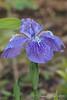 Iris tectorum, in pot