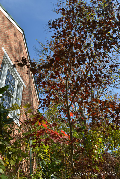Japanese maple S of library.  This may, in retrospect, have been a mistake.  Oh, well, pruners-r-us.