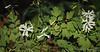 White Corydalis, Hesperides stairs