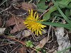 A dandelion!  Spring is here!