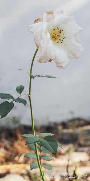 White rose, W of Dan's studio