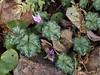 Cyclamen hederifolium, N walk.