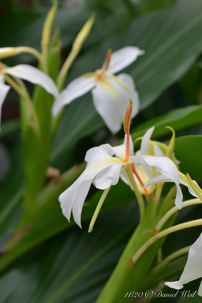 White Hedychium in g'house.  Lovely scent.