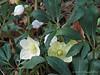 Helleborus niger hyb N walk.