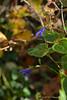 Salvia guaranitica, still going strong as of 11/13/20