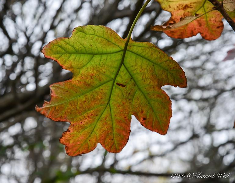 Love, love, love Fall color on oak leaf hydrangea....