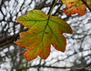 Love, love, love Fall color on oak leaf hydrangea....