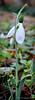 Galanthus elwesii v. monostictus ex Montrose