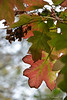 55 / 75  Love, love, love Fall color on oak leaf hydrangea....