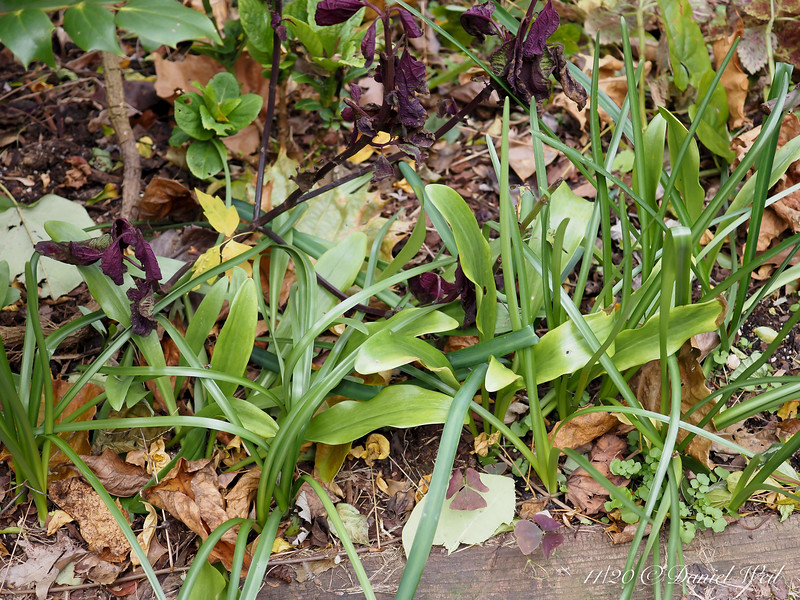 Strappy Sternbergia leaves, wider Madonna lily leaves.