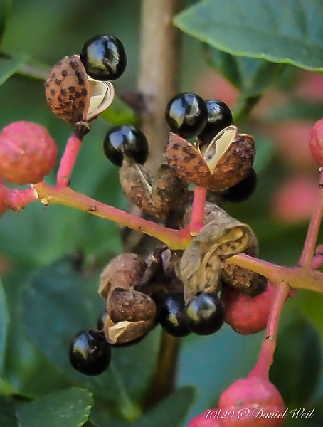 Zanthoxylum berries cropped.  The brown husk is what you eat.  (But the berry won't harm you.)