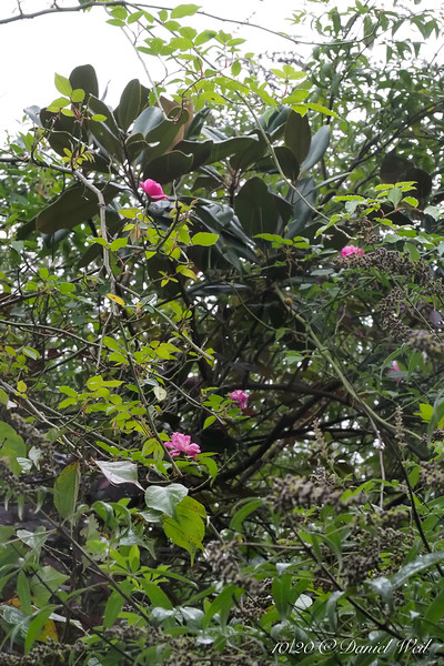 These roses are about 20' up the magnolia.  Not supposed to be rebloomers...