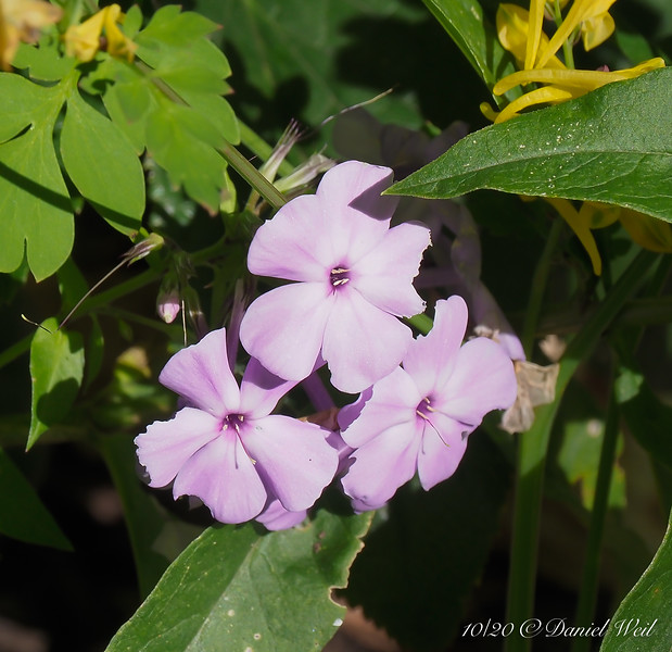 Another phlox.
