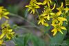 Bumblebees on weed flowers